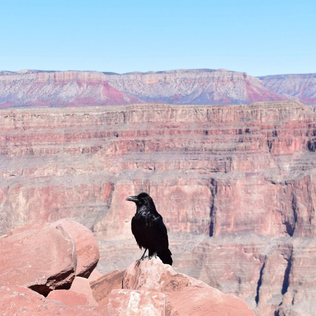 Crow at the Grand Canyon from instagram.com/humanje